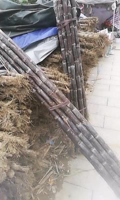 贵州省黔东南苗族侗族自治州榕江县黑皮甘蔗 2 - 2.5m 5 - 6cm
