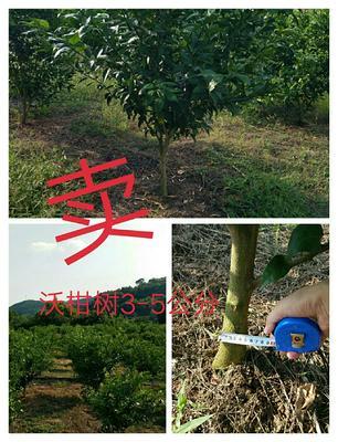 四川省成都市金堂县柑树苗 2.0~2.5米