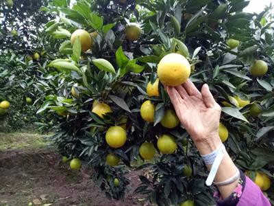 这是一张关于长柑带78一1 6 - 6.5cm 2 - 3两的产品图片