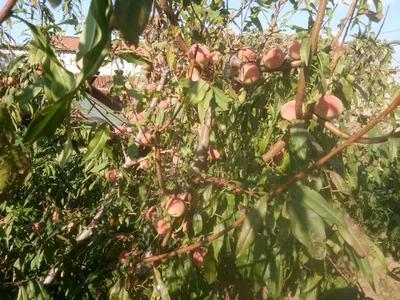 山东省烟台市莱州市映霜红蜜桃 45mm以上 4两以上