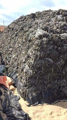 这是一张关于福建莆田海带的产品图片