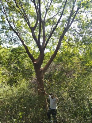 安徽省池州市东至县厚朴树