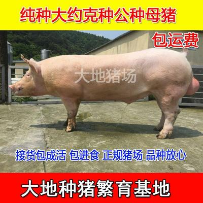 江苏省徐州市新沂市大白猪 60斤以上