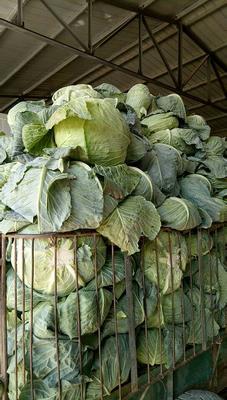 宁夏回族自治区固原市原州区莲花白包菜 4~5斤