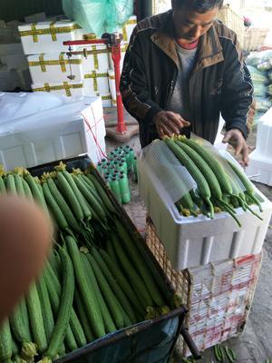 山东省潍坊市寿光市中绿丝瓜 35cm以上
