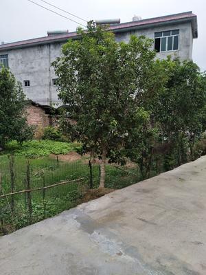 广西壮族自治区柳州市柳城县八月桂