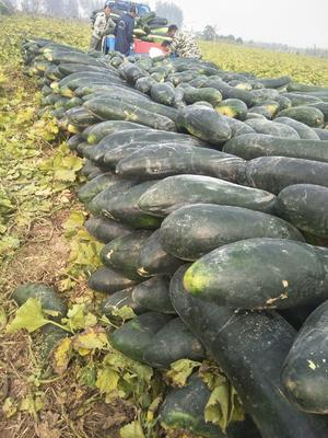 这是一张关于子弹头黑皮冬瓜 15斤以上 黑皮的产品图片