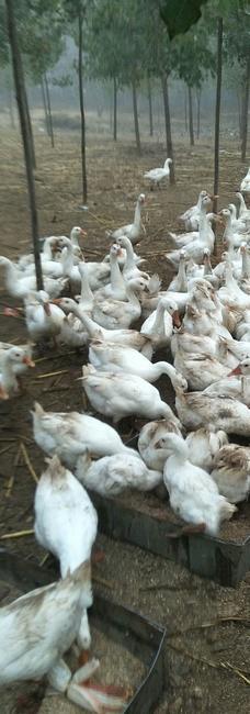 白鹅 统货 全散养 6-8斤