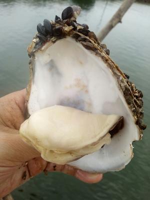 广东省佛山市南海区湛江牡蛎 人工殖养 2-3两/只