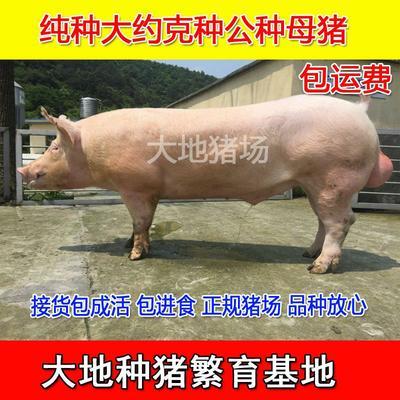 江苏省徐州市新沂市大约克猪 60斤以上