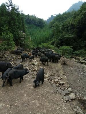 四川省乐山市峨边彝族自治县生态土黑毛猪 80斤以上
