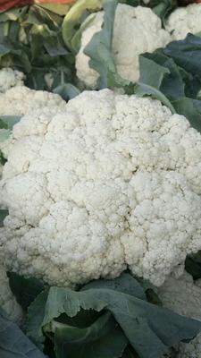 河南省焦作市博爱县白面青梗松花菜 适中 2~3斤 乳白色