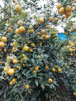 这是一张关于柑橘种子的产品图片