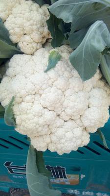 河南省开封市祥符区有机花菜 松散 2~3斤 乳白色