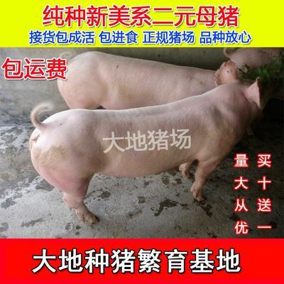 江苏省徐州市新沂市二元猪 20-25斤