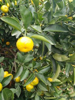 这是一张关于蜜桔 3 - 3.5cm 1两以下的产品图片