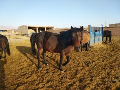 甘肃省张掖市甘州区肉马 600-800斤