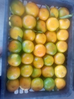 湖南省常德市石门县石门蜜橘 6 - 6.5cm 1.5 - 2两