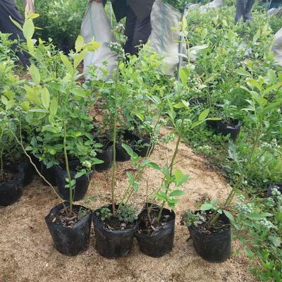 南高丛蓝莓苗