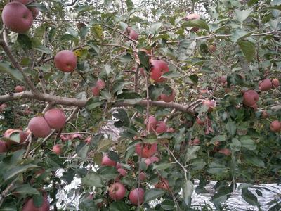 这是一张关于冰糖心苹果 光果 全红 70mm以上的产品图片