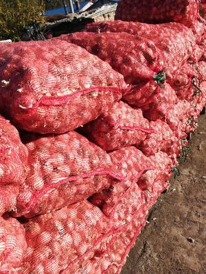 吉林省白城市洮北区白皮大蒜 5~5.5cm 多瓣蒜