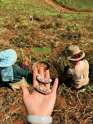 云南省普洱市孟连傣族拉祜族佤族自治县彩色花生 干货 带壳花生