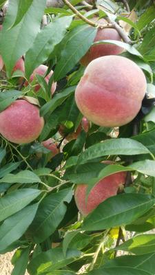 山东省青岛市莱西市映霜红蜜桃 70mm以上 4两以上