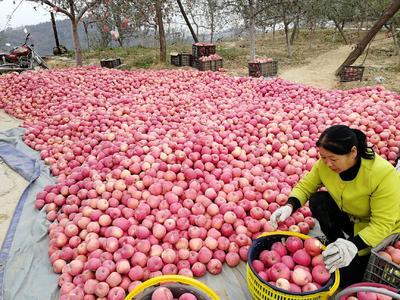 这是一张关于红富士苹果 光果 条红 75mm以下的产品图片