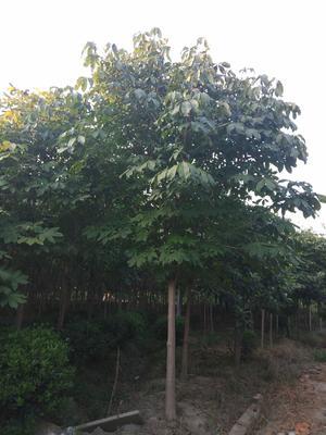 江苏省常州市武进区七叶树