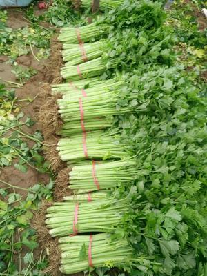 安徽省宿州市砀山县法国皇后芹菜 45~50cm 大棚种植 0.5~1.0斤