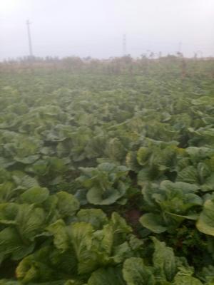 宁夏回族自治区中卫市中宁县青麻叶大白菜 10~15斤 净菜