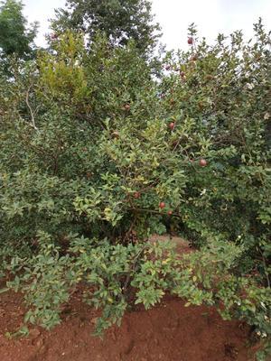 这是一张关于野山茶籽的产品图片