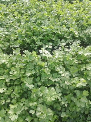 江苏省徐州市新沂市西芹 55~60cm 大棚种植 0.5斤以下