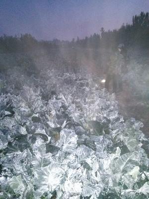山东省济宁市泗水县有机花菜 适中 2~3斤 乳白色