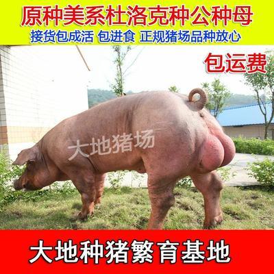 江苏省徐州市新沂市杜洛克猪 60斤以上