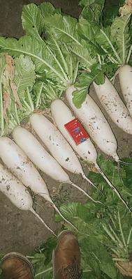 吉林省长春市农安县白玉春萝卜 3.5~4斤
