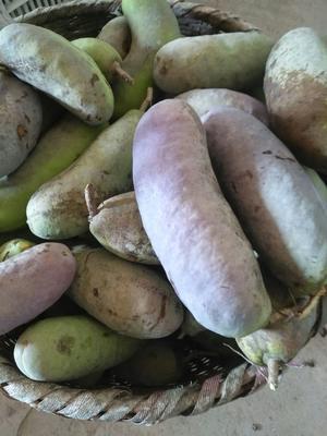 湖南省常德市澧县麻皮八月瓜 种植 150g以上