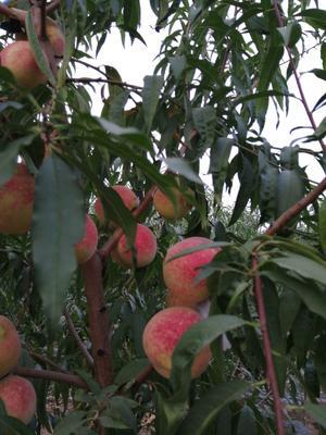 山东省济宁市汶上县映霜红蜜桃 70mm以上 4两以上