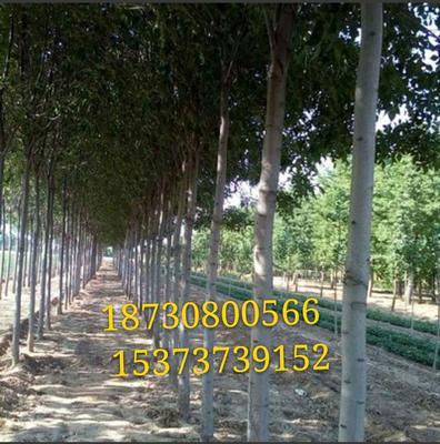 河北省衡水市枣强县速生白蜡 3~3.5米