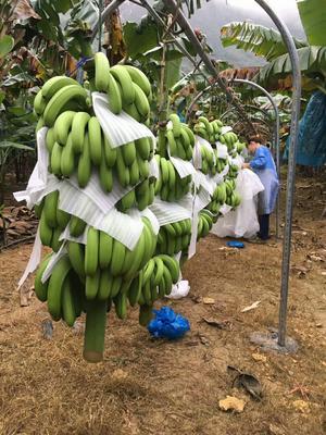 广西壮族自治区百色市田东县巴西香蕉 七成熟