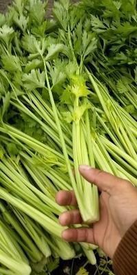 江苏省徐州市新沂市西芹 60cm以上 大棚种植 0.5~1.0斤