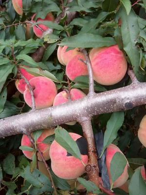 山东省临沂市蒙阴县映霜红蜜桃 55mm以上 4两以上