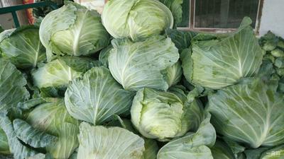 河南省开封市祥符区铁头圆包菜 2.5~3.0斤