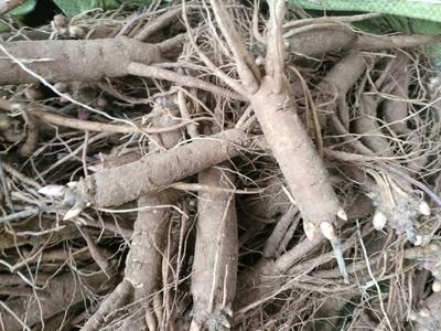 山东省菏泽市牡丹区多花芍药 2cm以下 0.5米以下