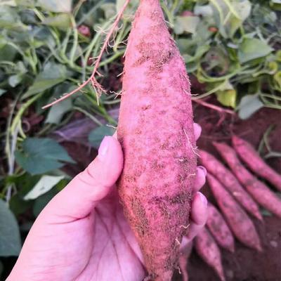 这是一张关于板栗薯 红皮 混装通货的产品图片