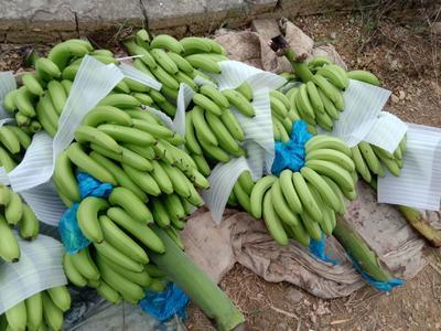 云南省红河哈尼族彝族自治州河口瑶族自治县河口香蕉 八成熟