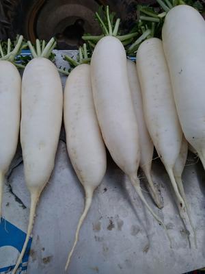 河南省周口市淮阳县白萝卜 1.5~2斤