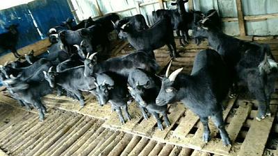 广西壮族自治区南宁市宾阳县黑山羊 50-80斤