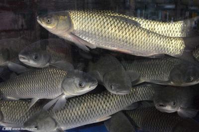 重庆梁平县池塘草鱼 人工养殖 0.5-3公斤