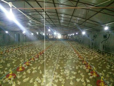 这是一张关于肉鸡 统货 5-6斤的产品图片